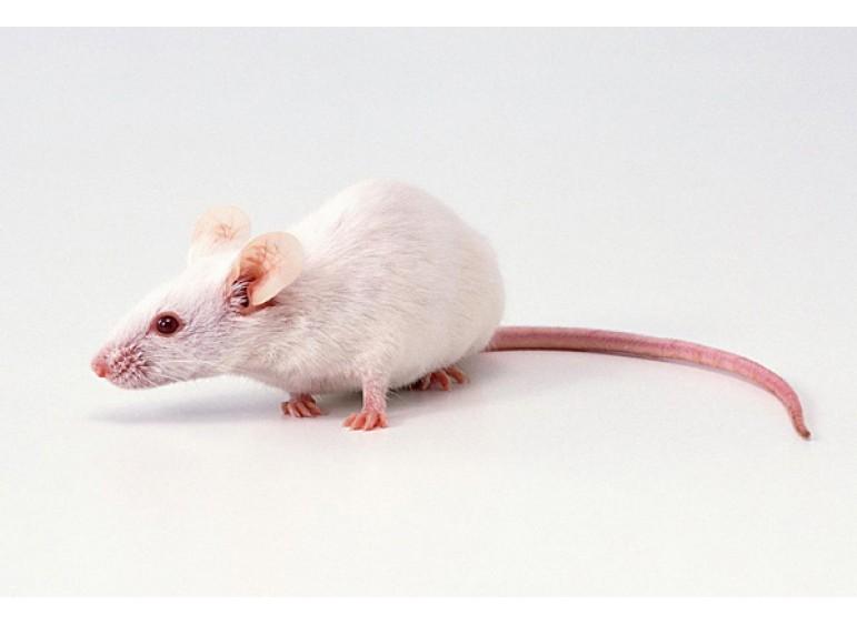 Уход за декоративными мышками