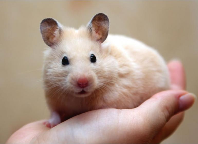 Кому подойдут хомячки в качестве домашних животных?