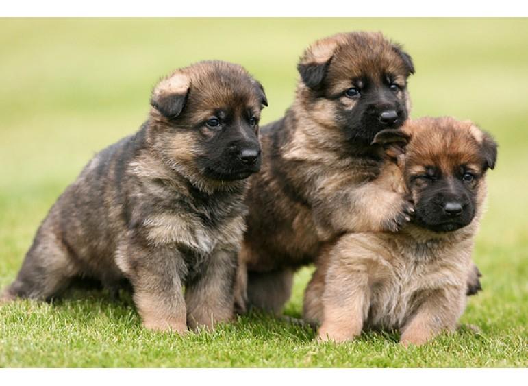 Выбор щенка: важные вопросы